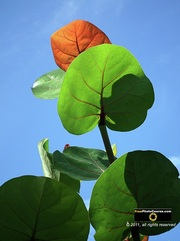 Gorgeous picture of a sea grape plant with blue sky in background.  © 2011, FreePhotoCourse.com, all rights reserved.  Awesome beach pictures & wallpapers. Download free jpg, jpeg photos.