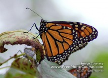 Picture of a Monarch Butterfly; © 2010, all rights reserved, FreePhotoCourse.com