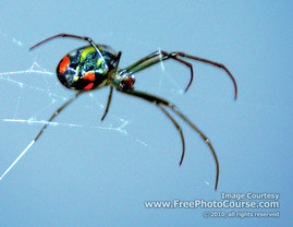 Picture of a Black Widow Spider; © 2010, all rights reserved, FreePhotoCourse.com