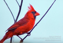 Picture of a male Cardinal; © 2010, all rights reserved.  Check out more Free Wallpapers and Pictures at: www.FreePhotoCourse.com