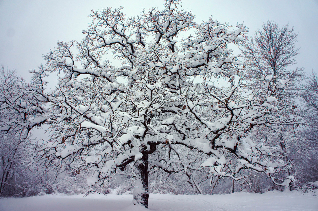 Picture of a single majestic snow-covered tree in a pasture.  Honorable Mention featured in FreePhotoCourse.com