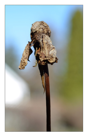 Photo of a withered, dead rose boom at the end of the season; From the Contributors' Gallery at FreePhotoCourse.com; © 2013, all rights reserved